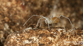 The bone cave harvestman, photo by Piers Hendrie