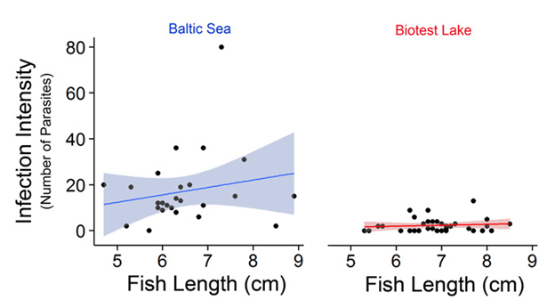 Infection intensity of the parasite D. baeri in juvenile perch from the Baltic Sea (left panel) and Biotest Lake (right panel). The line indicates best-fit and the shaded area represents the 95% confidence interval. Adapted from Mateos-Gonzales et al. (2015).